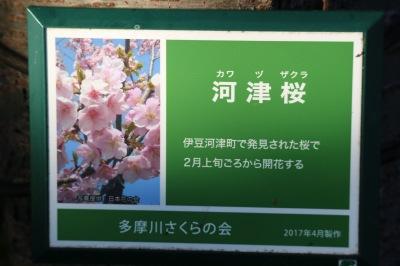 等々力緑地北側の河津桜