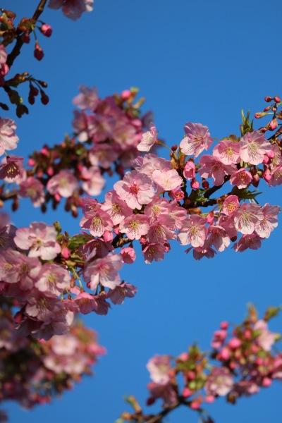 満開直前の河津桜