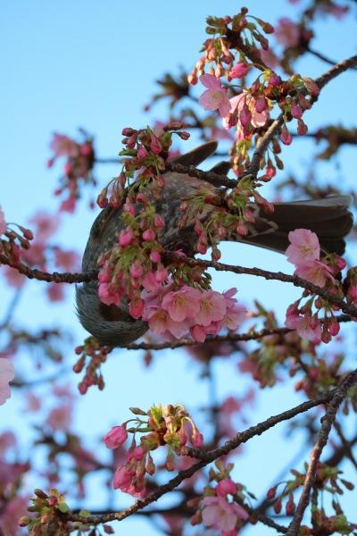 花弁をついばむ野鳥