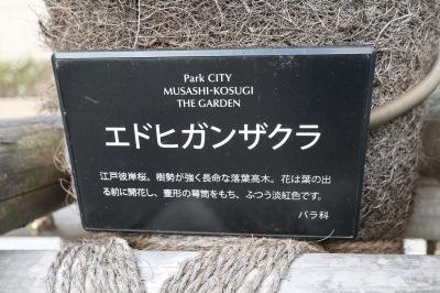 パークシティ武蔵小杉ザガーデンのエドヒガンザクラ