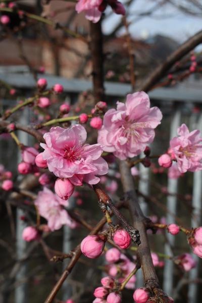 二ヶ領用水沿いの桃の花