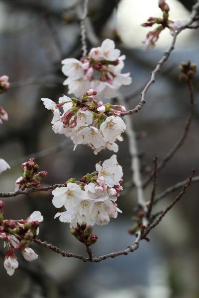 二ヶ領用水で開花したソメイヨシノ