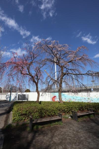 等々力緑地のしだれ桜