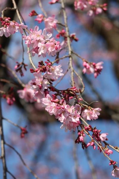 左側・薄い紅色のしだれ桜
