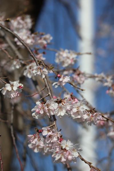 右側・白色に近いしだれ桜