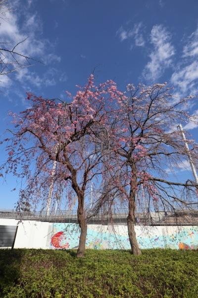 2色を楽しめるしだれ桜