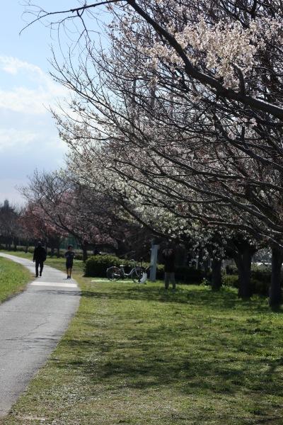 多摩川土手・等々力緑地北側の桜ゾーン