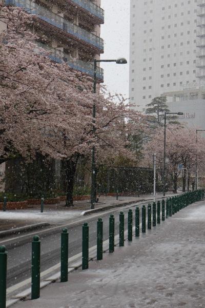 パークシティ武蔵小杉ミッドスカイタワー前のソメイヨシノ