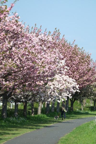 周辺の八重桜など