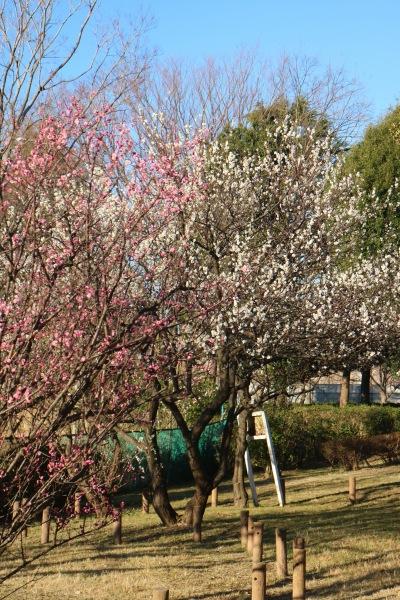等々力緑地釣り池北側の梅
