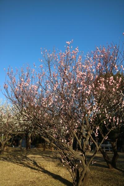 等々力緑地釣り池北側の梅の花